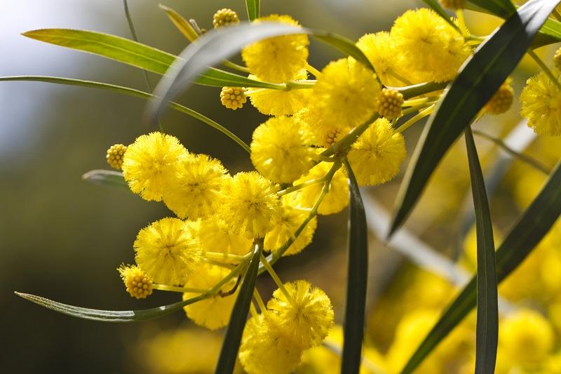 Vente de Mimosa.